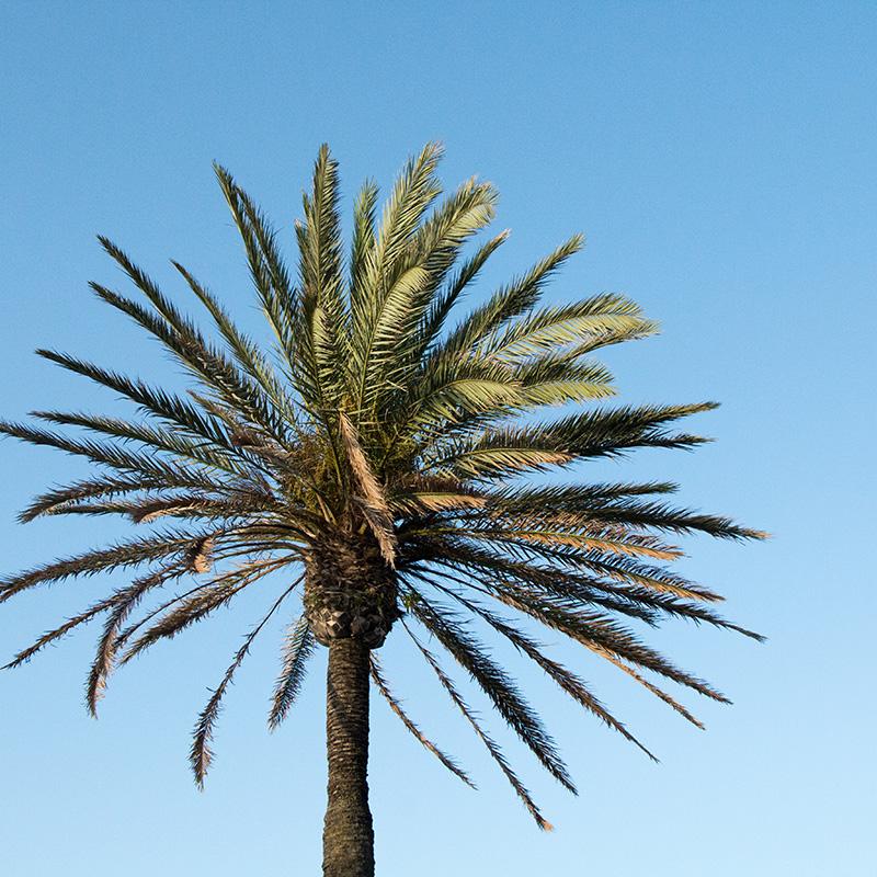 Palmera de Alcúdia
